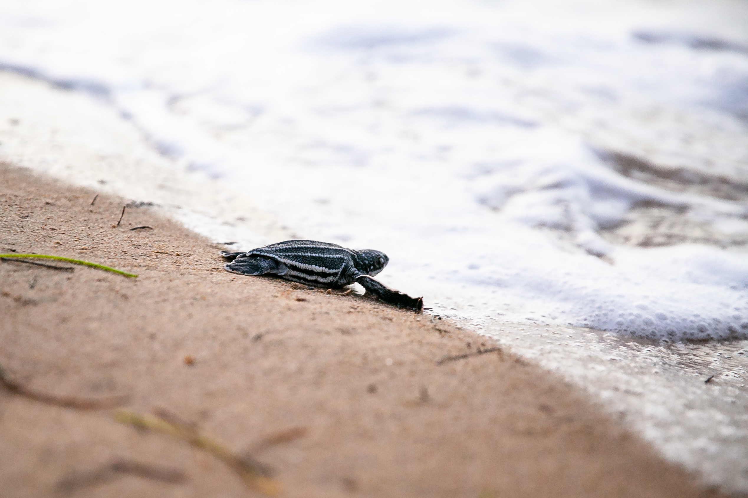 A leatherback turtle on the beach.