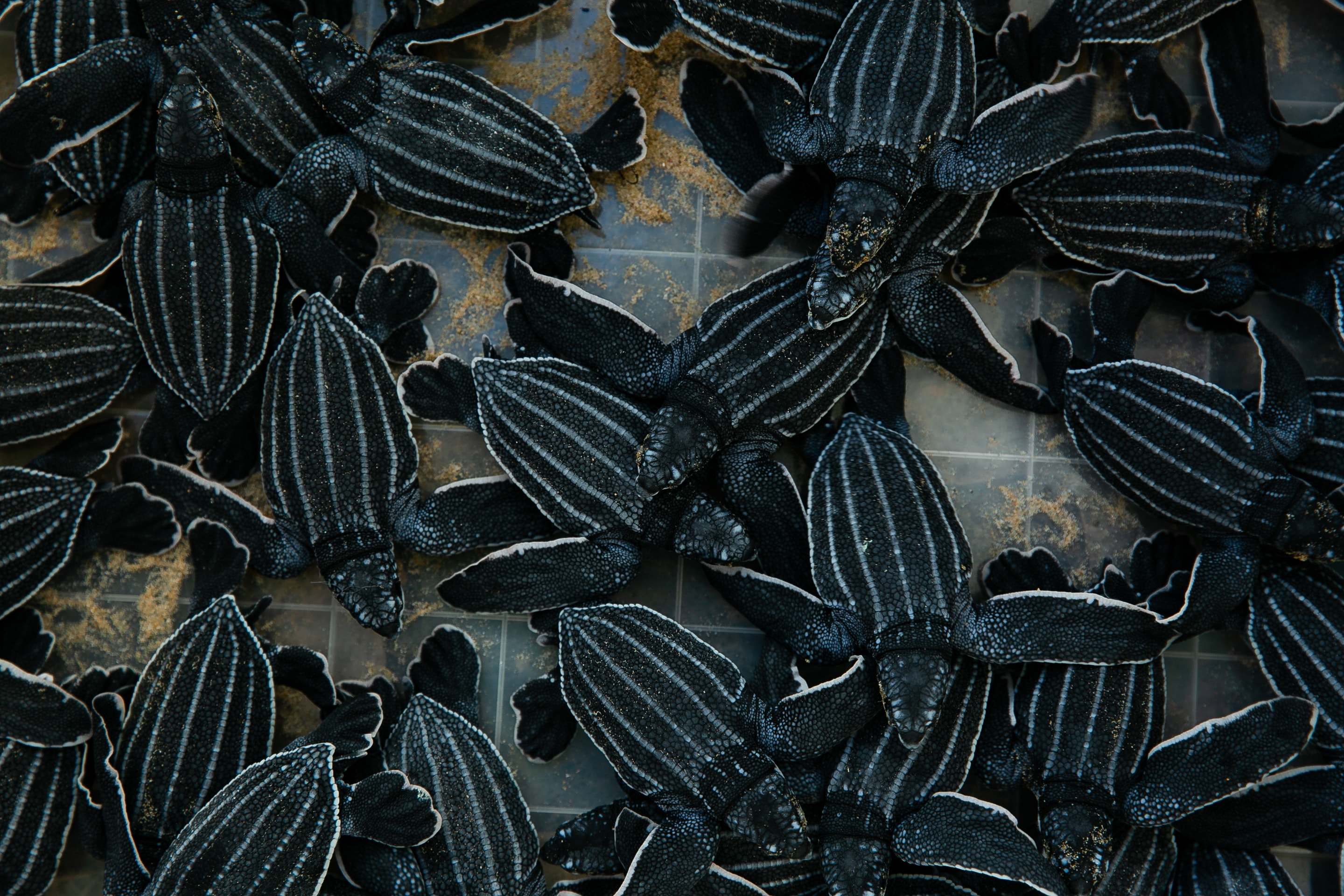 A litter of baby turtles.
